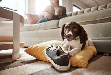 Dog sitting on the floor beside couch with sneaker laces in mouth