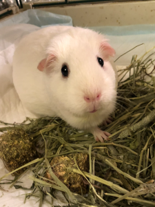 Picture of a white guinea pig