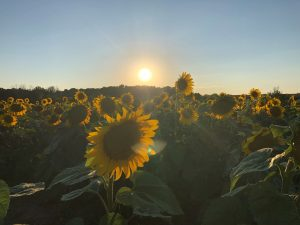 Picture of a sunflower field